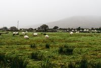 Flock of sheeps grazing in green field