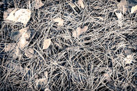 The ground is covered with pine needles and fallen leaves.