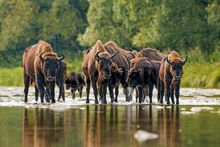 Herd of european bison, bison bonasus, crossing a river