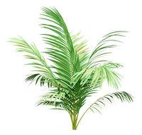 golden cane palm tree isolated on white background