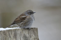 Dunnock * Prunella modularis *in winter, resting on a fence post