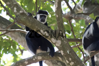male mantled guereza which sits in the shade in the crown of a large tree