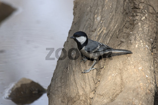 Great tit that sits on the trunk of a tree on the shore of a small pond