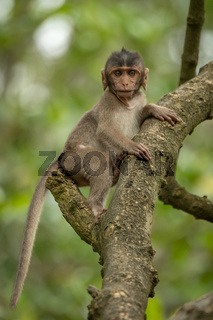 Baby long-tailed macaque in branches facing camera