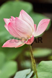 Indische Lotusblume blüht auf einem Teich