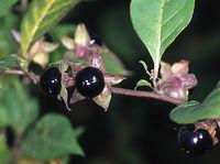 Belladonna with berries
