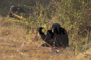 male common chimpanzee sitting on the edge of a forest near a sugar cane field