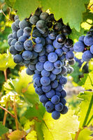 Wine grapes at a sunny vineyard right before the autumn harvest, selective focus