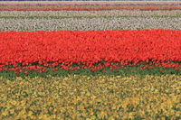 Tulip fields,Texel, Holland