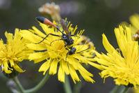 Sand Wasp, Ammophila ssp.