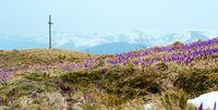 Purple Crocus flowers on spring morning mountain