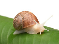 An albino garden snail, Cornu aspersum, on a banana leaf and white background,