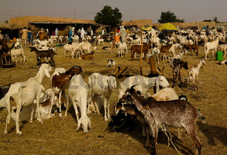 Sheeps and other livestock at the Local cattle market in Agades, Air, Niger