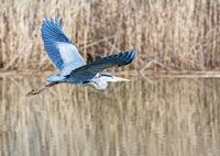 Flying grey heron bird
