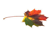 Autumn multicolored maple-leaf on white