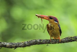 Oriental dwarf Kingfisher with kill, Ceyx erithaca, Kokan, Maharashtra, India