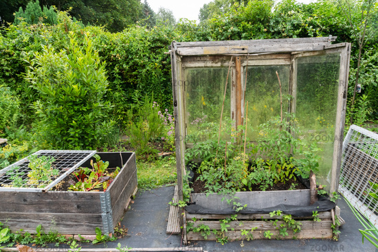 Greenhouse with flowering tomato plants
