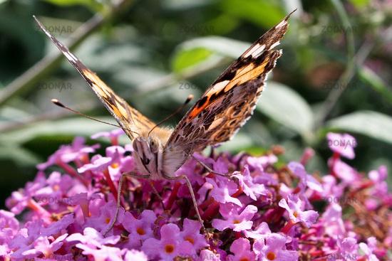 Painted lady butterfly, Vanessa cardui, adult on purple syringa flowers