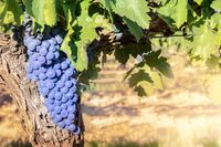 Wine grapes at a sunny vineyard right before the autumn harvest, selective focus, with a place for text
