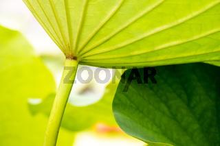 beautiful lotus flower leaf in the garden pond
