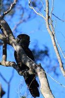 red-tailed black cockatoo (Calyptorhynchus banksii) Queensland ,Australia