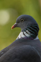 Portrait of a Wood pigeon