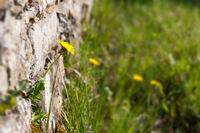 Dandelion on a wall