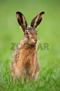 European brown hare, lepus europaeus in summer with green blurred background.