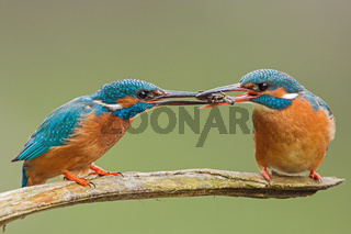 Two common kingfishers, alcedo atthis passing a fish one to another.