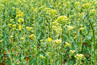 a flowering plant, sowing crops of rapeseed