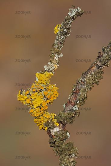 Maritime sunburst lichen (Xanthoria parietina)
