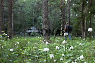 Cottongrass, Eriophorum vaginatum, in foreground. Out of focus middle aged adult man with backpack hiking toward wooden lodge.