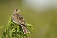 Skylark * Alauda arvensis * perched on top of a green plant, watching around