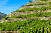 vineyard on dry stone walls on a steep slope,Quinta de la Rosa Winery, Pinhao, Douro Valley,Portugal