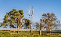Darss, Bliesenrade - tree row at the Bodstedter Bodden