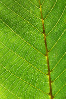 Macro photo of veined green leaf pattern. Natural beautiful background for layout