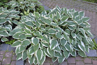 Decorative plant Hosta Patriot with variegated green with white  leaves close up