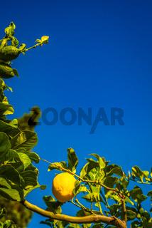 Lemon Growing in Tree Against Blue Sky