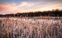 Rime covered bulrush vegetation along the banks of an icy river