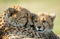 Close-up of cheetah lying asleep with cub