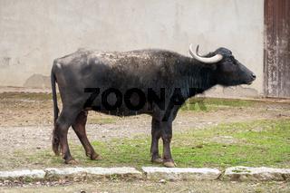 black cow at a wall
