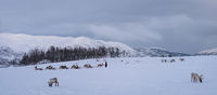 Reindeers pulling sleighs in winter Sami camp