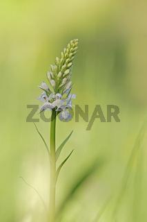Fuchs Knabenkraut (Dactylorhiza fuchsii)