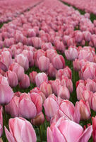 Field of yellow tulips of the species Mystic Van Eijk for the production of tulip bulbs