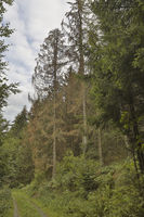 Spruce dieback, forest dying