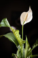 Dark floral spathiphyllum banner or background with a blank space for a text