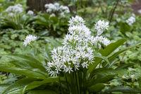 Baerlauch (Allium ursinum)