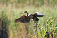 Purple heron on the nest