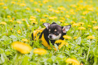 Chihuahua dog in dandelions. Little black dog. Yellow flowers dandelions. Dog in dandelions.