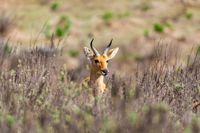 mountain reedbuck Ethiopia Africa wildlife